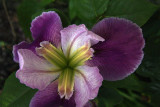 The Heart of an Iris