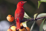 Migrating Summer Tanager
