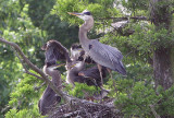 Mother Great Blue Heron and Three babies (Count the beaks)