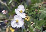 Wildflower in Louisiana Wetlands