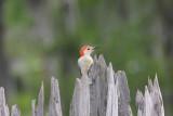 Sassy Little Bird--Woodpecker