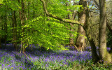 Banstead Bluebells