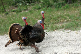 June 25th 2014 - Road Turkeys - 120922_1.jpg