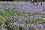 April 4th 2012 - Field of Flowers - 0461.jpg