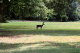 June 19th 2012 - Deer in Field - 0883.jpg