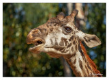 animals-giraffe1.jpg