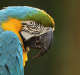 Our' 13 year old male macaw Beto in our garden this morning....