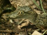 A Baby Alligator