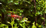 The Swamp Grasshopper