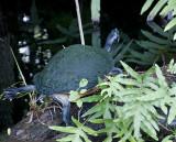 The Florida Turtle