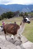 A local Llama