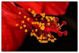 Tulipan Rojo.jpg