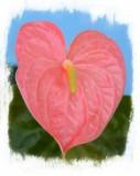 anturio rosado