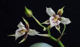 Rhynchostele maculata