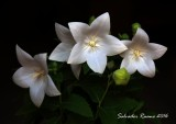 flor globo blanca