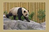 1 Panda male Toronto Zoo