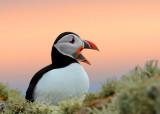 The Birds of Shetland 2013