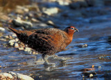 Red Grouse  Crossing a Frozen Highland Burn
