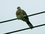 Spotted Dove - Processed