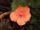 Hibiscus SH-1