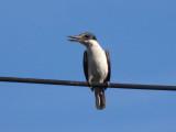 Kingfisher 4