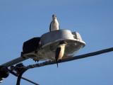 Kingfishers 8
