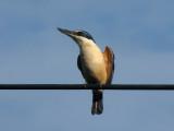 Kingfisher 10