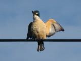Kingfisher 11