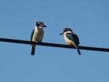 Kingfishers 9 (SZ30MR)