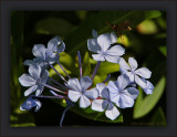 The Plumbago Pollinators Of Summer