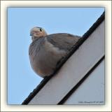 A Dove On The Edge