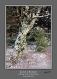 Lichen in Snow Dolly Sods.jpg