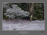 Frosted Rhododendron Dolly Sods.jpg