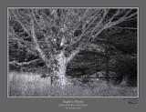 Maple in Winter Dolly Sods.jpg