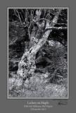 Lichen on Maple BW.jpg