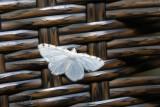Petite arpenteuse de l'érable (speranza sputularia)