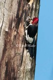 Red Headed Woodpecker Feeding Young