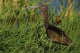 White-Faced Ibis Vocalizing