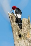 Gallery: Red Headed Woodpecker