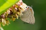 Acadian Hairstreak Butterfly