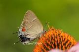White M Hairstreak Butterfly