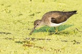 Spotted Sandpiper Foraging
