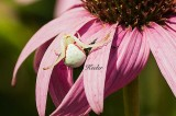 White Crab Spider