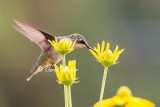 Young Hummingbird Eating