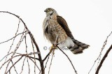 Wet Sharpshin Hawk