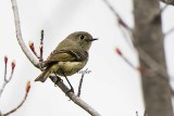 Ruby Crown Kinglet