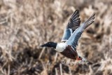 Shoveler Take-Off