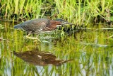 Green Heron Stalking