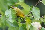 Yellow Warbler Gleaning Insects
