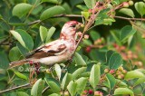 Leucistic Purple Finch